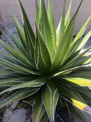 Agave for Sale in Norwalk, CA