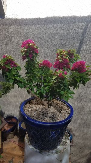 Plant Lavender color bougainvillea in a beautiful blue pot for Sale in Fresno, CA