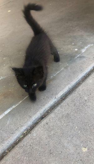 Free kitten for Sale in Mesa, AZ