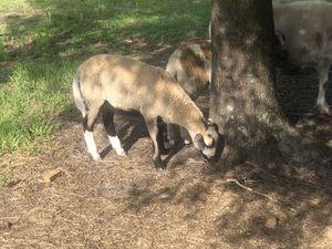 Male sheep for Sale in Avon Park, FL