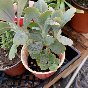 Succulent Plant for Sale in Long Beach, CA