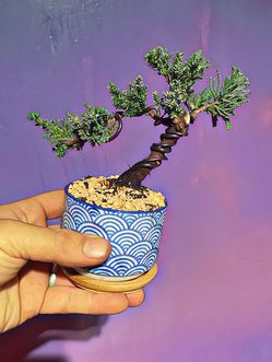 Cute Mini Bonsai Tree - Live Plant for Sale in Federal Way,  WA