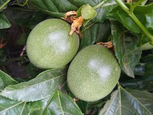 Organic fresh passion fruit!!! for Sale in Oceanside, CA