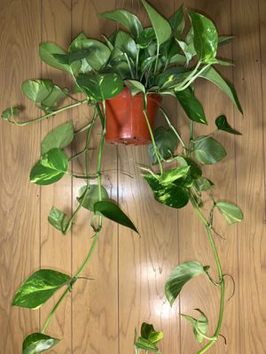 Healthy and Full 2.5 Foot Long Pothos Golden Houseplant for Sale in Los Angeles, CA
