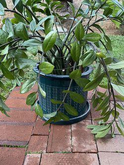 Zz Plant for Sale in La Habra,  CA