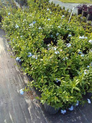 Plants plantas for Sale in Avon Park, FL