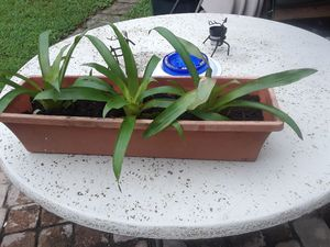 Planta plant green for Sale in Hialeah, FL