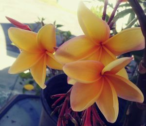 "PLUMERIA ROOTED CUTTINGS ""RARE DEEP SOLID ORANGE YELLOW FLOWERS"" 💐 IN POTS. for Sale in Rosemead, CA"