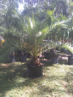 Canary Island date palm for Sale in Orlando, FL