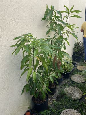 Mangos 6 feet tall green and healthy for Sale in Riverview, FL