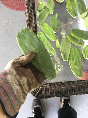 Thornless cactus pads for Sale in St. Petersburg, FL