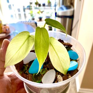 Philodendron Florida Ghost - Juvinile for Sale in Valley Stream, NY