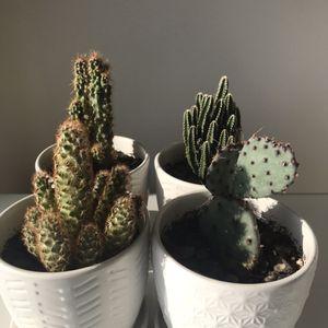 Cactuses / Succulent for Sale in Alexandria, VA