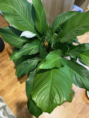 BIG peace lily for Sale in Chicago, IL