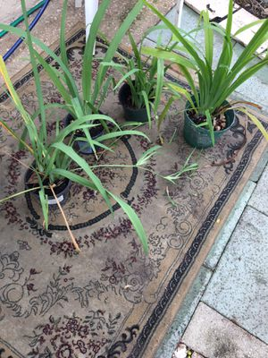 Africans lily for Sale in Tampa, FL