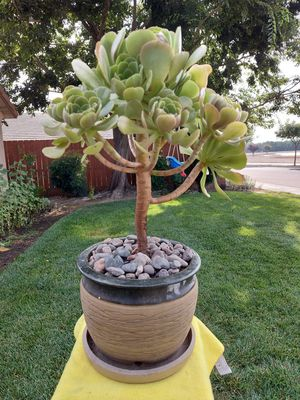 Succulent Tree in a Nice Pot. for Sale in Visalia, CA