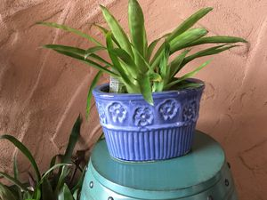 Plant and blue glazed pot for Sale in Ocoee, FL