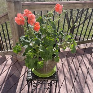 Flowering Geranium With Pot Plate and Plant Stand for Sale in Ellicott City, MD