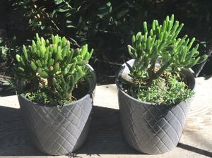 Two matching succulents for Sale in Mentone, CA
