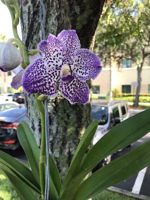 Blooming vanda orchid for Sale in Fort Lauderdale, FL