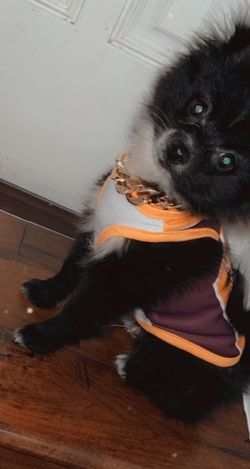 Lakers Jersey (Pomeranian) for Sale in Los Angeles,  CA