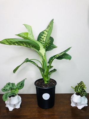 """Tropic Snow - Dumb Cane Plant 2ft in 7"""" pot (3gallon) for Sale in San Diego, CA"""