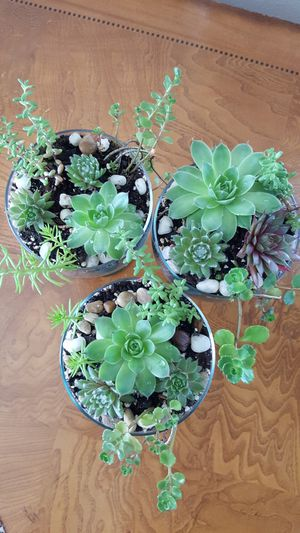 """Succulents Arrangement in Glass 6,5"""" H 4"""" W ( $ 27 for all 3 ) for Sale in Everett, WA"""