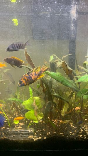 Cichlids fish for Sale in Plainfield, IL