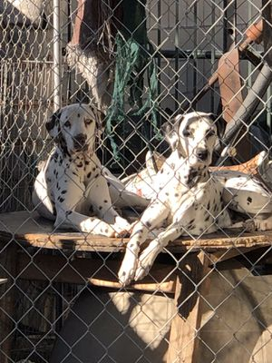 Dalmatians for Sale in Rancho Cucamonga, CA