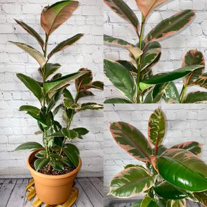 """2 Foot Tall Variegated Ruby Rubber Tree (Ficus Tineke) in 10"""" Plastic Pot for Sale in Los Angeles, CA"""