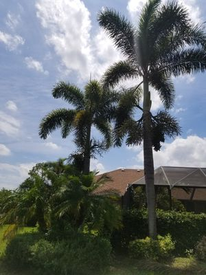 Healthy palm trees very tall for Sale in West Palm Beach, FL