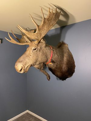 Shoulder mount moose head Taxidermy for Sale in Chicago, IL