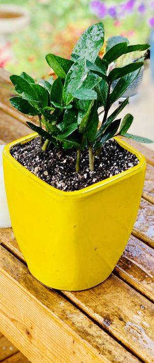 Live indoor ZZ house plant in a ceramic planter flower pot with—firm price for Sale in Tukwila, WA