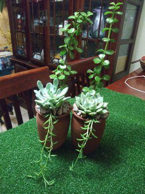 Succulents en macetitas de barro pequeña $6EACH for Sale in Bell, CA