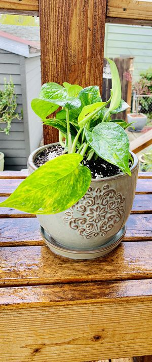 Live Indoor Golden Pothos house plant in a textured ceramic planter flower pot with attached base—firm price for Sale in Seattle, WA