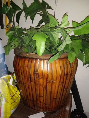Beautiful house plant for Sale in Las Vegas, NV