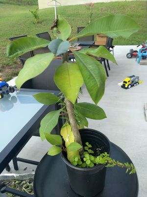 Lucky plants for Sale in Clermont, FL