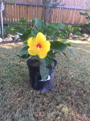 Beautiful yellow red eye wing hibiscus live plant for Sale in Leander, TX
