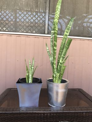 2 beautiful live snake plants with metal pots $20 for both for Sale in Chandler, AZ