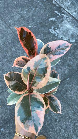 Ficus tienke for Sale in Portland, OR
