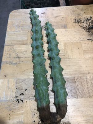 """2 myrtillocactus with 1 root, 17"""" & 13"""" tall, $122 for Sale in Stanton, CA"""