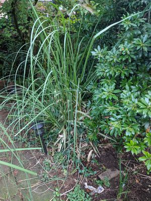 Pampas Grass, you dig for Sale in Portland, OR