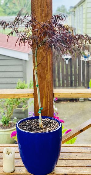 Live outdoor Japanese Maple Crimson Queen Laceleaf tree plant in a ceramic planter flower pot—firm price for Sale in Seattle, WA