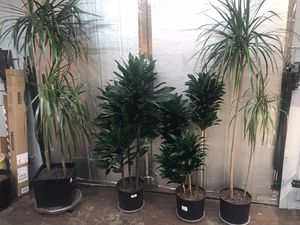 """Tall healthy beautiful indoor plants - 4.5 feet to over 7"""" for Sale in Tacoma, WA"""