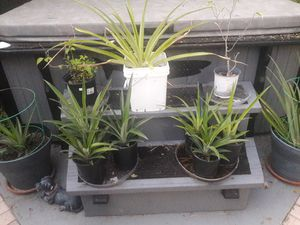Pineapple plant delicious golden for Sale in Pinellas Park, FL