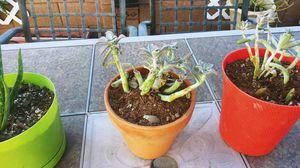 Succulent plant $5 each for Sale in Avondale, AZ