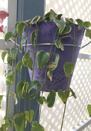 3 hanging potted plants with little purple flower in spring for Sale in Las Vegas, NV