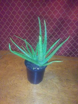 Healthy Full Aloe Vera Plant for Sale in Beaumont, TX