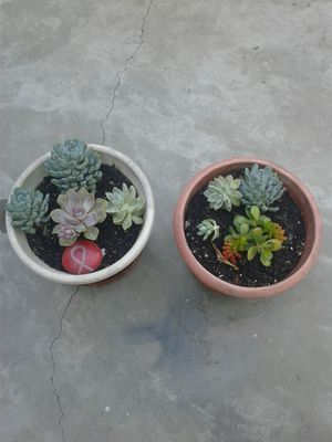 Nice Succulent plant's Asking $8 each or best offer for Sale in Stockton, CA