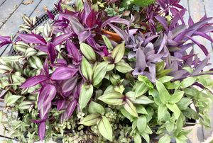 Wandering jew tradescantia rooted plugs for Sale in Baird, MS